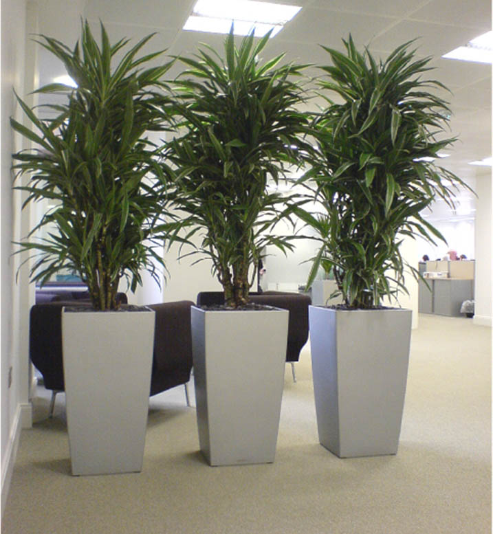 10 famous large and small indoor plants the self sufficient living - Tall house plants ...