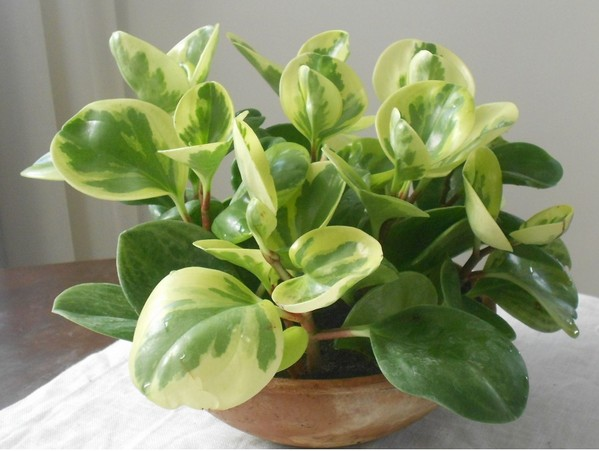 Peperomia small house plants