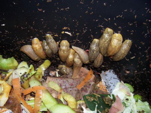 Slugs in compost bin