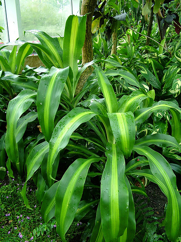 dracaena corn plant - Tropical House Plants