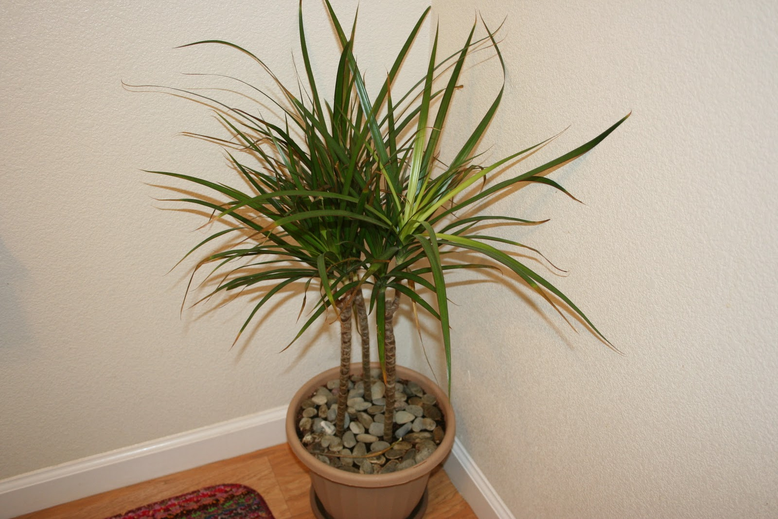 the dragon tree houseplants