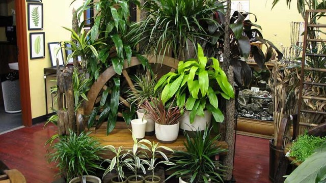Top 10 tropical house plants any one can grow the self for Planta tropical interior