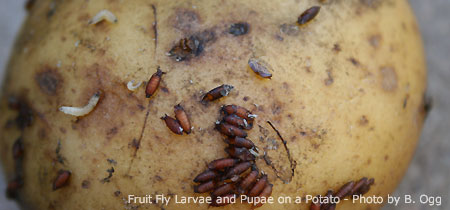 yeast fruit flies trap