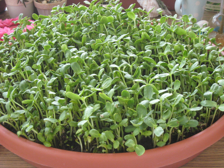 Sunflower Sprout