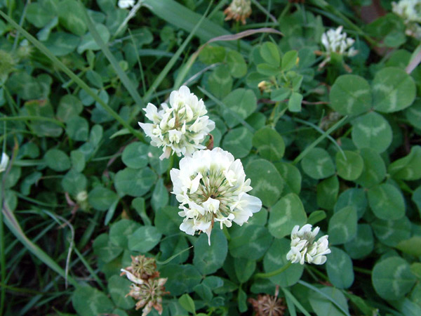 Clover edible Weed