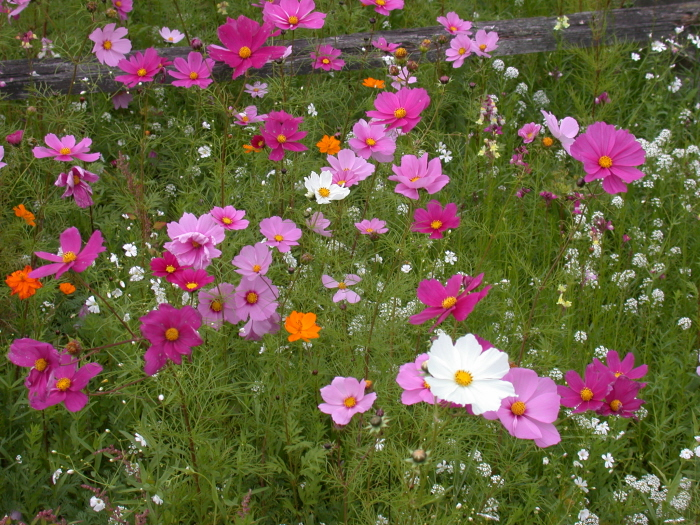 Cosmos low maitenace plant