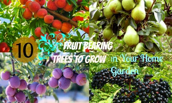 12 Popular Fruit Bearing Trees That Are Easy To Grow | The ... Raising Chickens