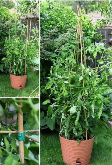 Bamboo and Wire Tomato Cage