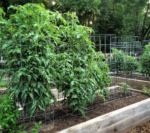 DIY Tomato Cage Made From Livestock Panels