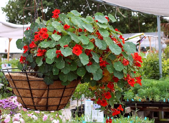growing nasturtiums in hanging basket