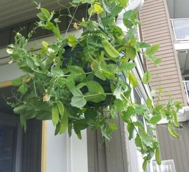 growing Peas in hanging basket