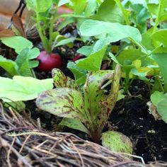 Radishes in hanging basket