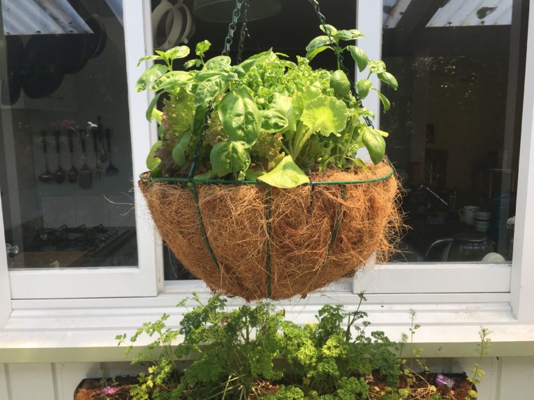 Basil In Hanging Basket