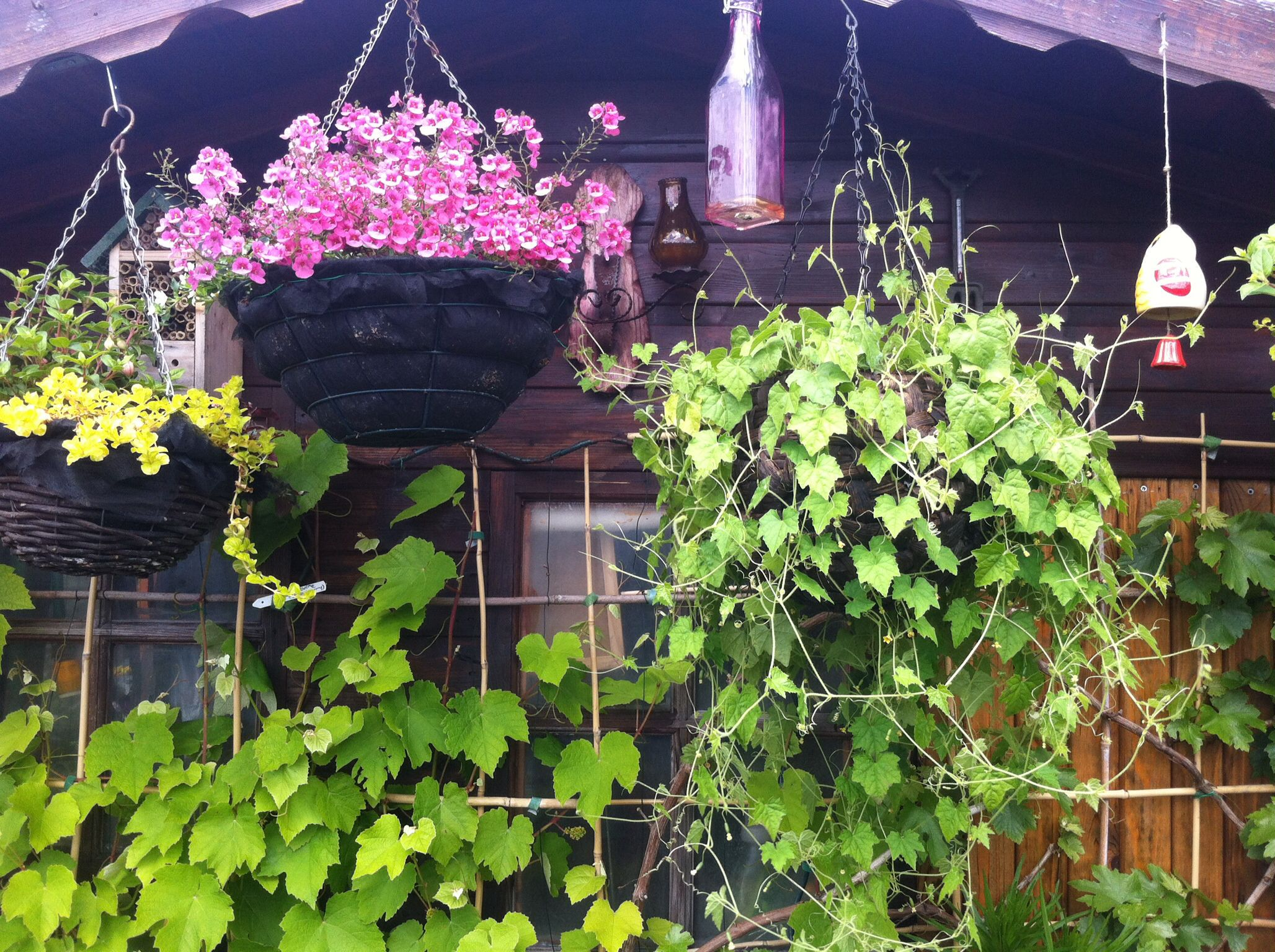 Cucamelons In Hanging Basket