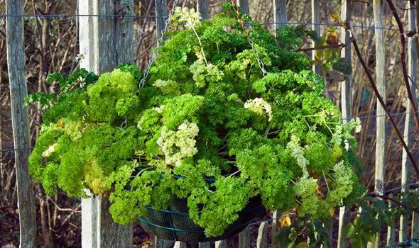 Growing Parselay In Hanging Basket