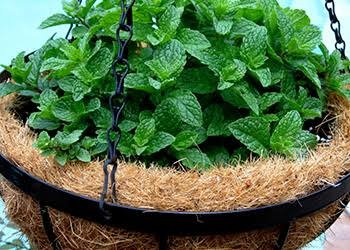 Mint In Hanging Basket