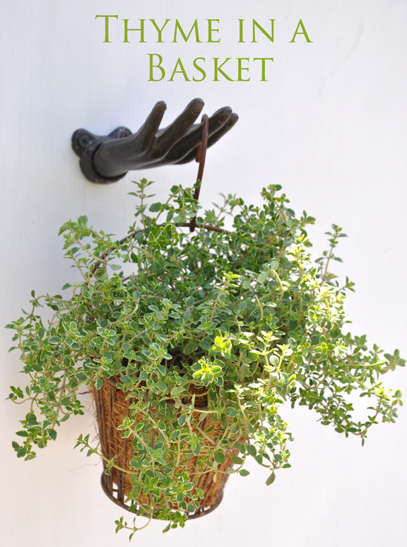 growing thyme in basket