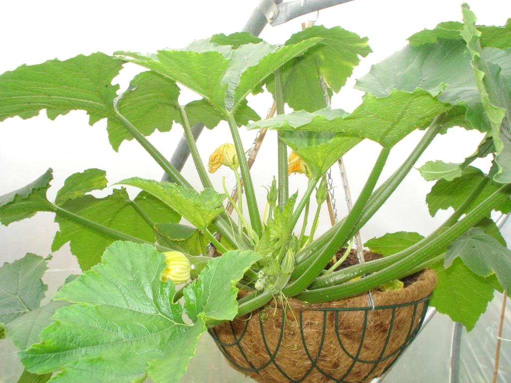 Courgette in hanging basket