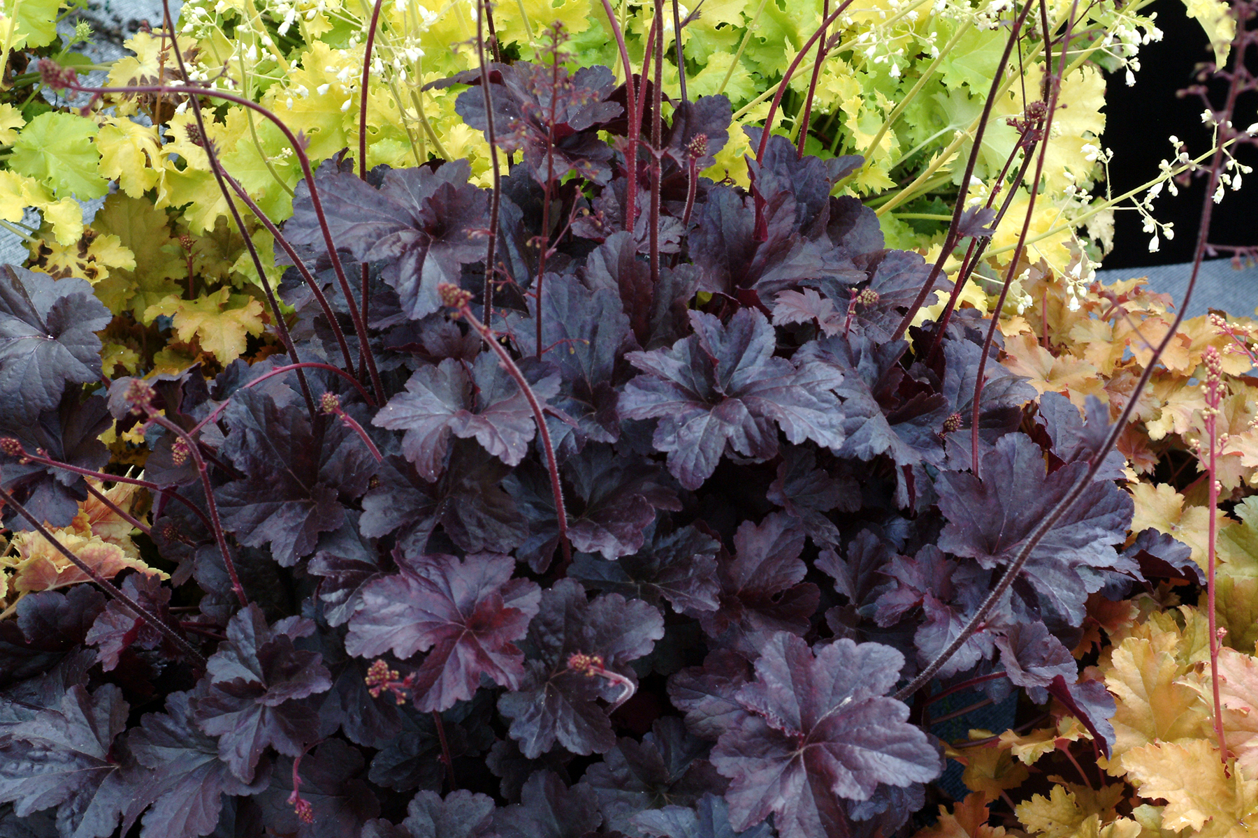 shade loving plant coral bells