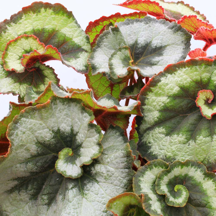 Begonia in shade