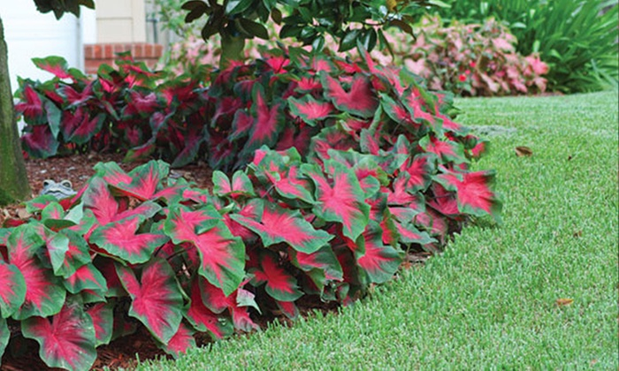 Caladium plant in shade garden