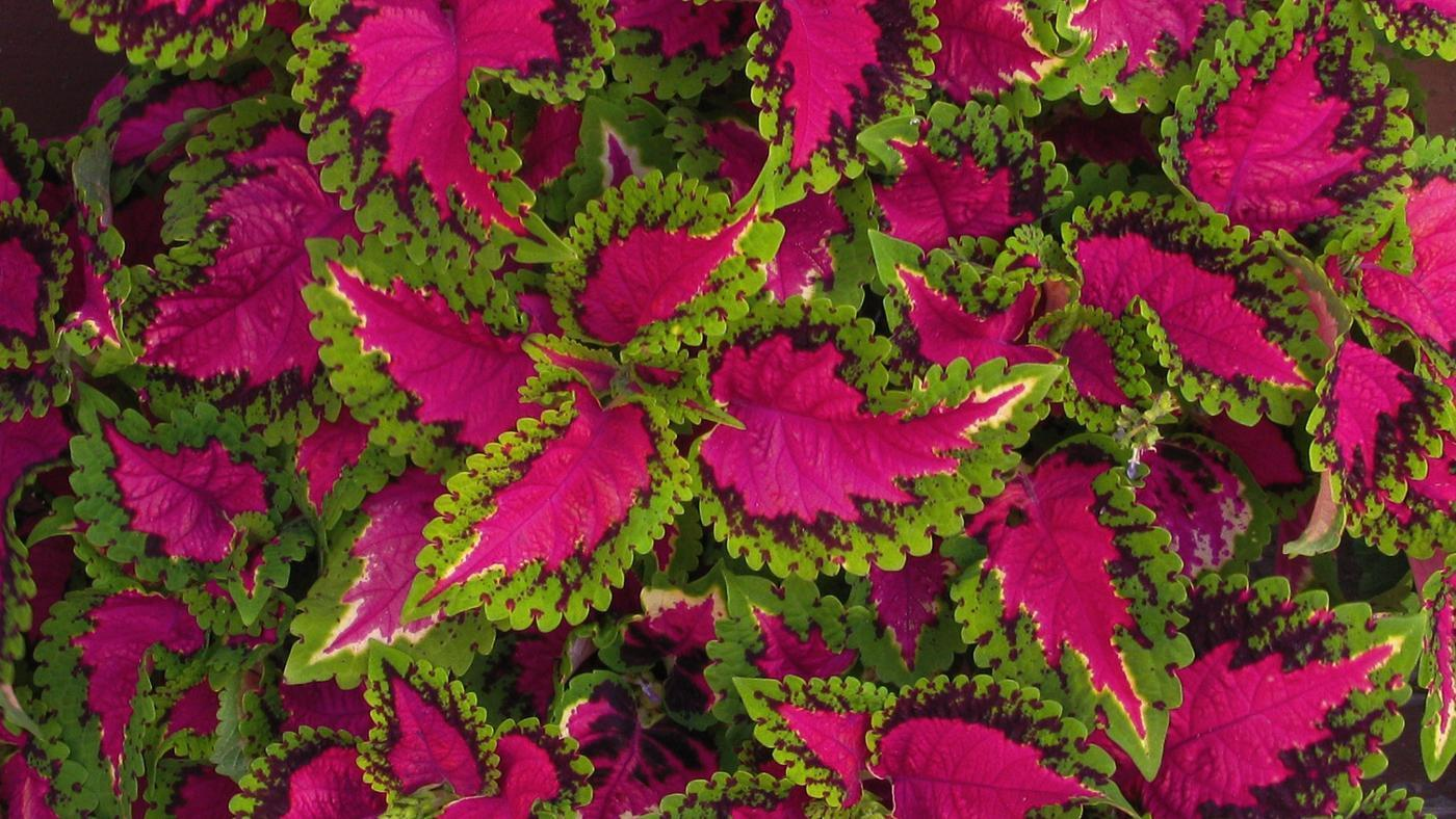 Growing Coleus In Shade