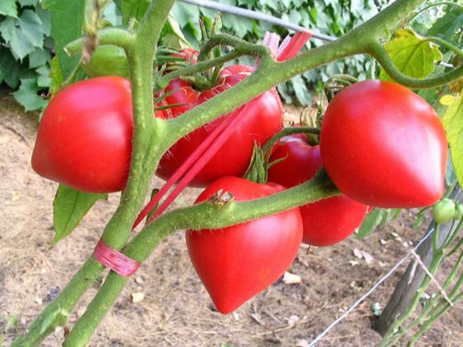 Anna Russian tomatoes