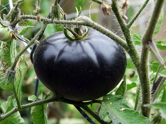 Black Beauty Tomatoes