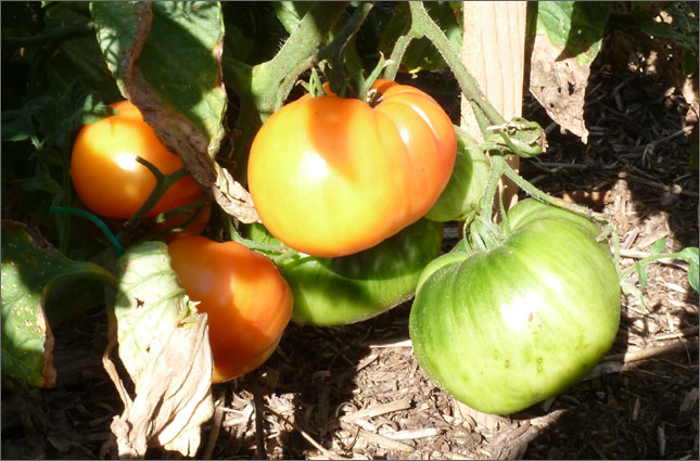 Lucky Cross Tomatoes