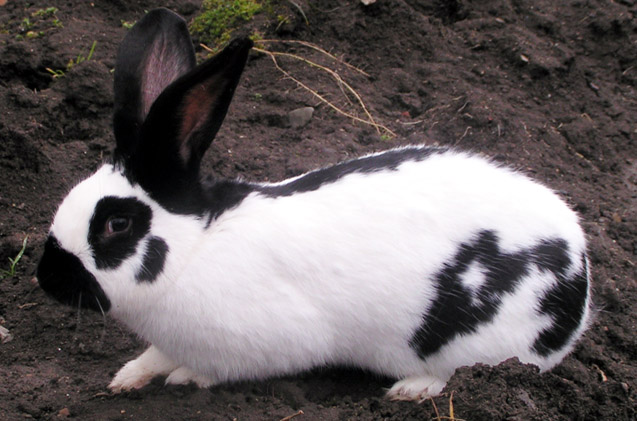 Checkered Giant Rabbit