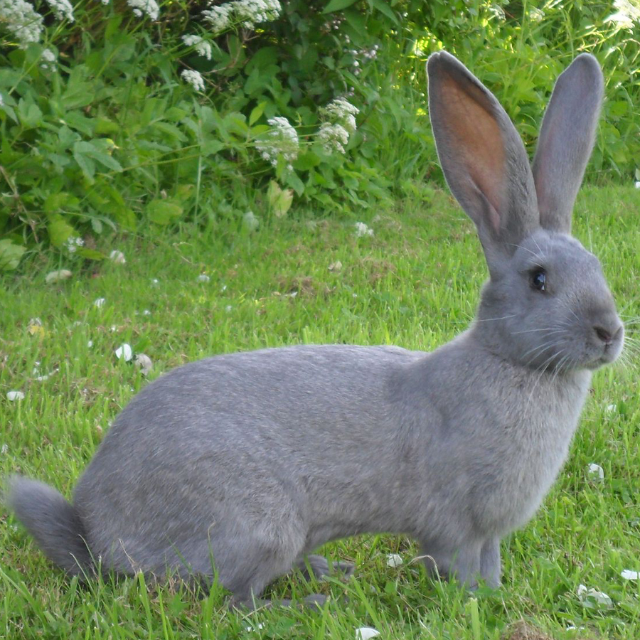 7 Popular Giant Rabbit Breeds To Raise As Pets The Self