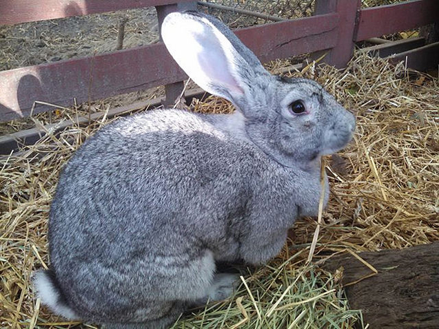 Giant Chinchilla Rabbit