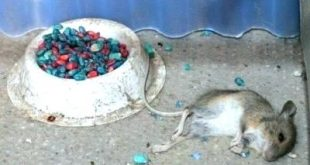 homemade mouse poison