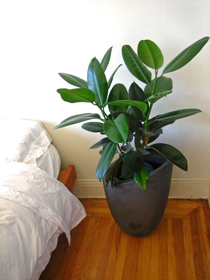 Rubber Tree Indoor