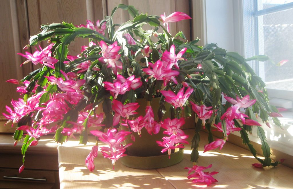 Growing Christmas Cactus