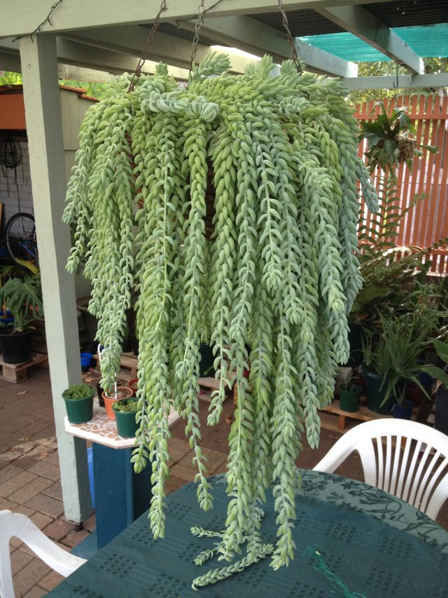 Hanging Burro's Tail