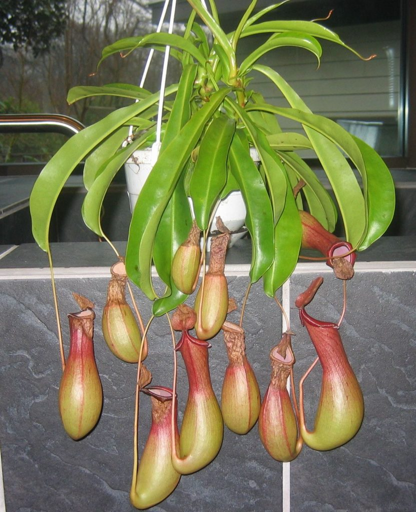 Pitcher Plant Hanging Indoor