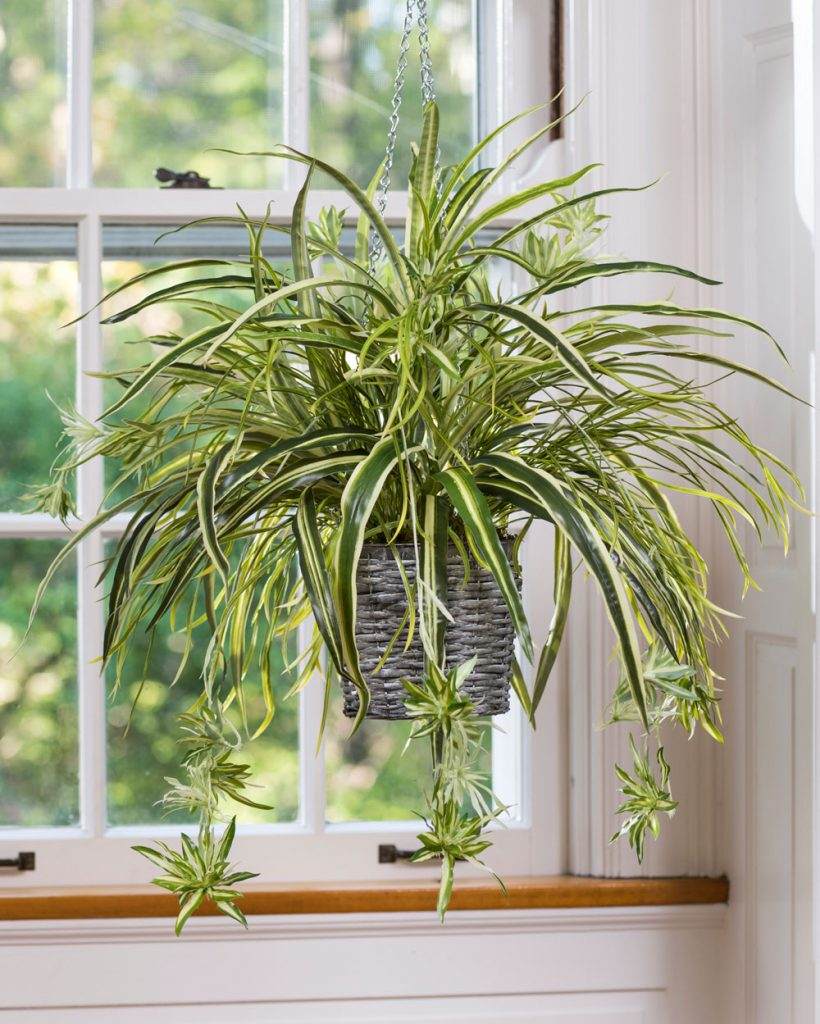 Spider Plant Indoor