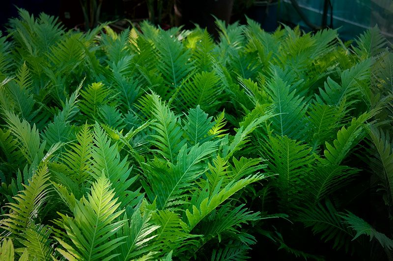 Lady Fern outdoor