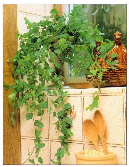 Creeping Fig Vine Plant For Indoor