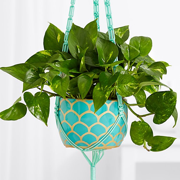 Golden Pothos Vine