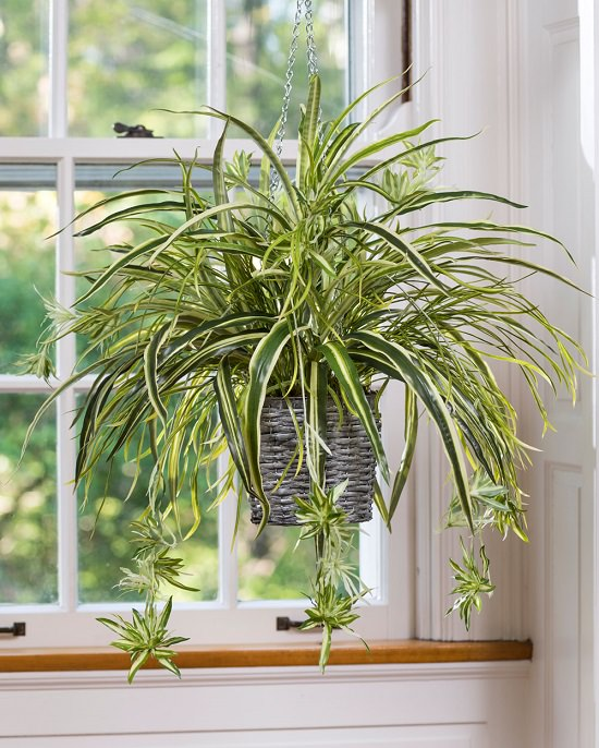 Spider Plant For Indoor