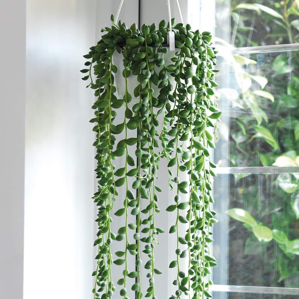 String of Pearls Vine Plant