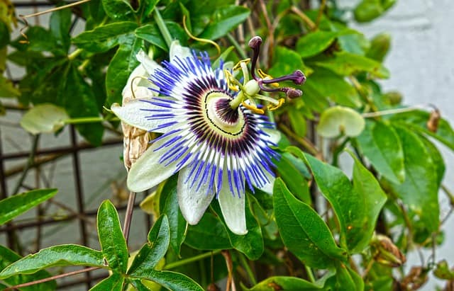 passionflower Indoor Vine Plant