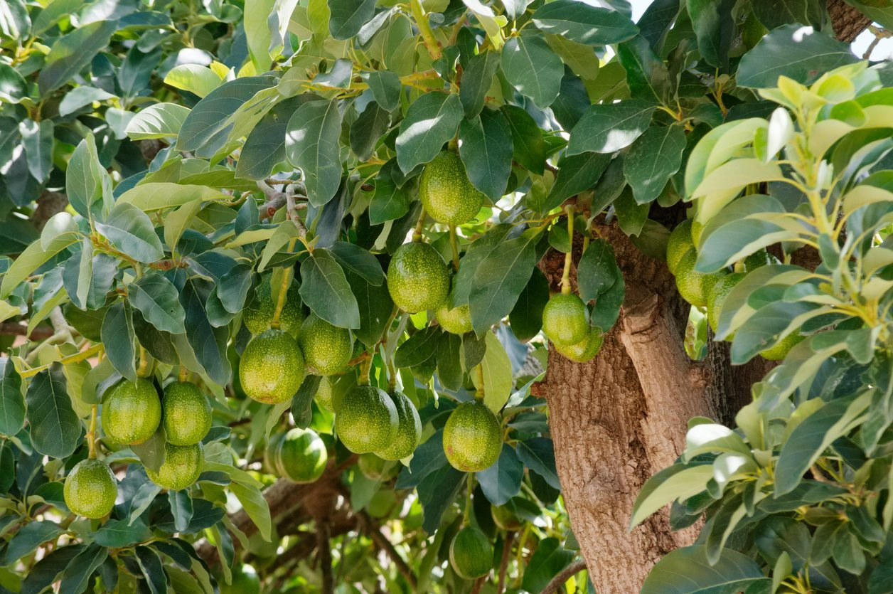 Hass or Day Avocado tree