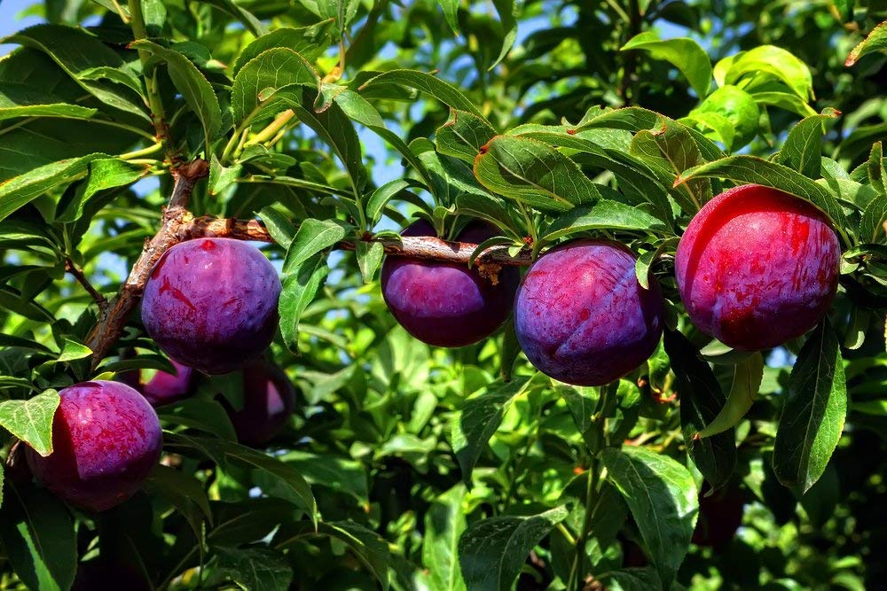 Plums trees