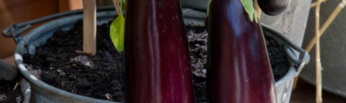 10 tips to growing eggplant in a pot or container