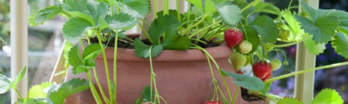 10 Useful Tips For Growing Strawberries In a Pot