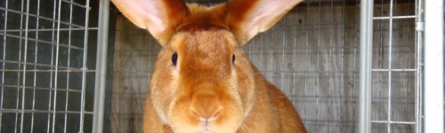 10 Best Meat Rabbit Breeds for Homesteads