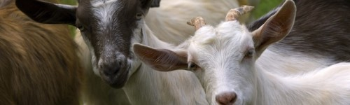 10 best tips on raising goats for milk and meat-A guide for beginners